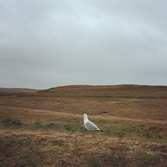 Mouette songeuse (Reb et Ka) Tags: bretagne breizh bzh morbihan brittany mouette seagull oiseau bird quiberon