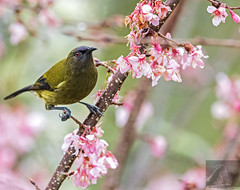 NZ Bellbird 01 (Black Stallion Photography) Tags: male bellbird birds wildlife newzealand nzbirds cherry blossom pink flowers purple green red eye feathers spring black stallion photography igallopfree