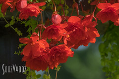Salmon Begonias (Sue_Hutton) Tags: august2016 loughborough queenspark flowers redbegonias summer