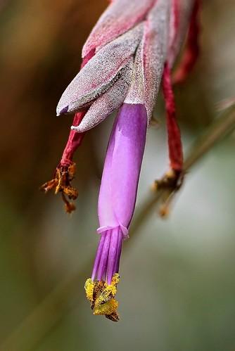 Tillandsia baileyi 1787-1 (2)