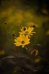 Rudbeckias (tonybill) Tags: august flowers gardens helios40285mmf15 loseleypark miscellaneous sonya7 sunshine surrey bokeh