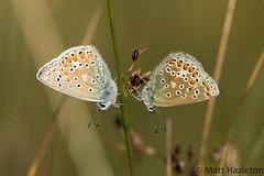 Common blue (Matt Hazleton) Tags: commonblue butterfly insect animal outdoor wildlife nature summerleys bcnwildlifetrust northamptonshire canon100mm canoneos7dmk2 canon eos 100mm 7dmk2 matthazleton matthazphoto polyommatusicarus