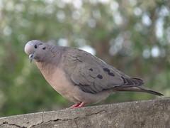 DSC05762 (familiapratta) Tags: sony dschx100v hx100v iso100 natureza pssaro pssaros aves nature bird birds novaodessa novaodessasp brasil