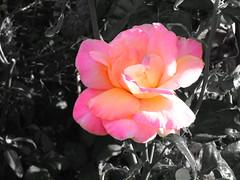 Pink Rose on Black and White (BenRoySheppard) Tags: rose pink edited black white milton keynes tongwell
