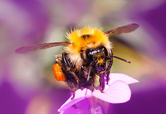 Emerging from a purple haze (Steve-h) Tags: nature natur natura naturaleza flowers wallflowers haze colour colours purple orange beige gold yellow black brown legs antennae wings fuzzy shiny tongue hairy pollensac eyes velbontripod digital exposure canon macro lens camera summer augwust 206 ireland dublin europe europa eu steveh thighs