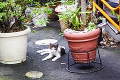 Today's Cat@2016-08-19 (masatsu) Tags: cat catspotting thebiggestgroupwithonlycats pentax mx1