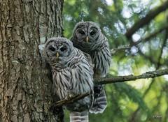 Barred Owl Siblings (T0nyJ0yce) Tags: barredowl wild raptor birdofprey birds family siblings owlet fledgling wildlife forest nature owls