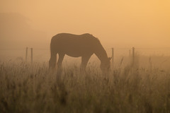 Horse in the Mist (Infomastern) Tags: sdersltt countryside dimma fog horse hst landsbygd landscape landskap mist soluppgng sunrise exif:model=canoneos760d geocountry camera:make=canon exif:isospeed=100 camera:model=canoneos760d geostate geocity geolocation exif:lens=efs18200mmf3556is exif:focallength=145mm exif:aperture=63 exif:make=canon
