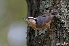 Red-breasted Nuthatch (Eric Gerber) Tags: backyard bird birds ericgerber nuthatch redbreasted tree