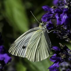 Butterfly_SAF6898 (sara97) Tags: copyright2016saraannefinke nature outdoors photobysaraannefinke saintlouismissouri towergerovepark butterfly pollinator insect flyinginsect copyright2016saraannefinke