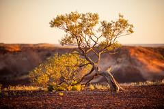 Desert Survivor (lespullen1) Tags: australia breakaways cooberpedy evening outback southaustralia sunset