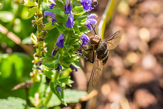 A New Visitor (Gabriel FW Koch (fb.me/FWKochPhotography on FB)) Tags: bee fly insect bug flyinginsect wild wildlife outside garden purple flowers closeup macro eyes tongue wings bokeh eos dof canon lseries 100mm