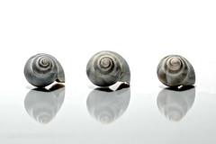 three in a row (brescia, italy) (bloodybee) Tags: 365project seasnail shell seashell gastropoda mollusc stilllife reflection mirror grey gray white