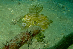 baby john dory zeus faber (richie rocket) Tags: scillies seasearch scillyisles cornwall uk underwater scuba diving