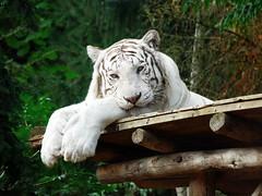 Tigre blanc (elodiemuhlach) Tags: tigreblanc tigre flin zoo amnville zooamneville animaux