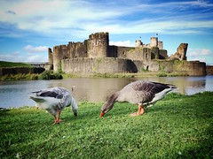 Feeling peckish (simonchurch2901) Tags: southwales valleys geese wildlife wales castle caerphilly