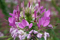 _2016 (Zygmunt Su...) Tags: saveearth suunyflowers flowerblossom fantasticflower macrodreams