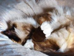 Nouchka (KerKaya) Tags: cat sweet cute kitty kerkaya panasonic lumix leica fz200 pet portrait animal sleep beauty