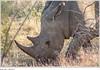 Figure 8: Endangered Rhino in Kruger National Park, South Africa (U.S. GAO) Tags: gao governmentaccountabilityoffice usgovernmentaccountabilityoffice usgao unitedstatesgovernmentaccountabilityoffice government congress watchdog oversight governmentwatchdog gao16717 combatingwildlifetrafficking apa 2015annualprogressassessment cites conventiononinternationaltradeinendangeredspeciesofwildfaunaandflora cwt dhs departmentofhomelandsecurity doi departmentoftheinterior doj departmentofjustice eent endangeredecosystemofnortherntanzania fto foreignterroristorganization fws usfishandwildlifeservice nationalstrategyforcombatingwildlifetraffickingimplementationplan inl bureauofinternationalnarcoticsandlawenforcementaffairs interpol internationalcriminalpoliceorganization itap internationaltechnicalassistanceprogram ngo nongovernmentalorganization nrt northernrangelandstrust odni officeofthedirectorofnationalintelligence smart spatialmonitoringandreportingtool state departmentofstate nationalstrategyforcombatingwildlifetrafficking task force presidentialtaskforceonwildlifetrafficking treasury departmentofthetreasury unodc unitednationsofficeondrugsandcrime usaid usagencyforinternationaldevelopment rhino krugernationalpark southafrica