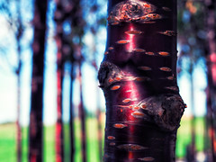 Cherry Birch (bjg_snaps) Tags: tree birch cherry bokeh nature natural london olympicpark