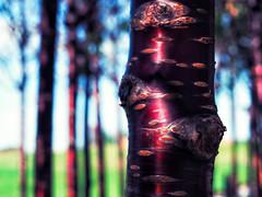 Cherry Birch (bjg_snaps) Tags: tree birch cherry bokeh nature natural london olympicpark