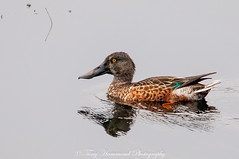 Shoveler (m) (anas clypeata) (phat5toe) Tags: shoveler duck birds wetland avian feathers wildlife nature wigan flashes greenheart nikon d300 sigma150500