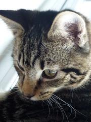 My Kitten (Mara 1) Tags: cat kittens pets animals face portrait eyes ear whiskers tabby stripes black grey fawn coat fur indoors m