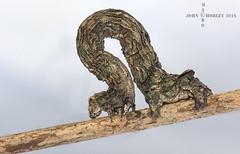 Moth Caterpillar disguised as a twig (John Chorley) Tags: moth caterpillar nature johnchorley macro macrophotography 2016 wildlife garden outdoor closeup