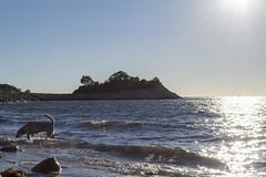Dog at Buzzard's Bay (biesterd11) Tags: falmouth capecod cape cod ma massachusetts dog puppy swimming swim water peninsula knob sunset sun set beach