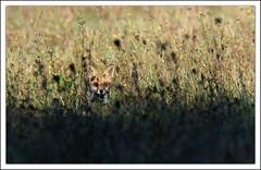 bien cach (guiguid45) Tags: nature sauvage animaux mammifres renard loiret d810 nikon 500mmf4 redfox renardroux goupil vulpes