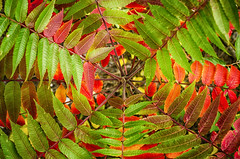 Autumn Vortex (flashfix) Tags: october062016 2016 2016inphotos nikond7000 nikon ottawa ontario canada 40mm autumn leaves gradient greens red orange nature mothernature lines repeating