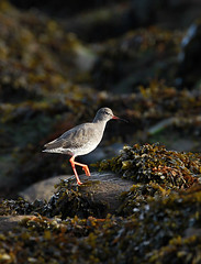 Redshank (andywilson1963) Tags: scotland bird wader coast rocks wildlife nature stonehaven redshank