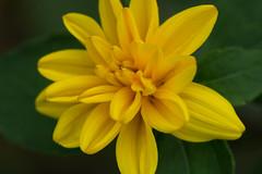 Yellow Flower (nak.viognier) Tags: flower bampakupark osaka   olympusepl3 mzuikodigitaled60mmf28macro