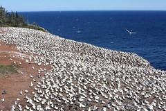 20160912_042_ile_bonaventure_colonie_vue_de_la_tour_d_observation (lindy_scuba) Tags: bonaventure canada gannet perce quebec
