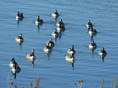 Canada Geese (chdphd) Tags: brantacanadensis canadageese canadagoose canada geese goose montrose montrosebasin