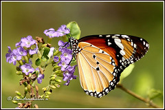 2981 - plain tiger (chandrasekaran a 560k + views .Thanks to visits) Tags: india nature butterfly eos insects chennai plaintiger canon60d