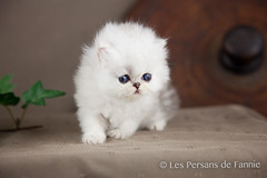 Les Persans de Fannie (Les Persans De Fannie) Tags: cats pets cat persian chats kitten chat chinchilla animaux fannie chaton chatons persan