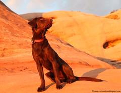 Sunset Glow on the Slick Rock (KB RRR) Tags: dog nature utah desert slickrock ddc chocolatelabrador shyla