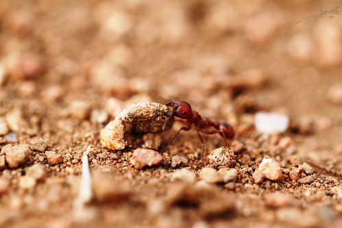 red ant moving a rock