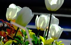 Beyaz Laleler- Gnee kar (m.krali) Tags: dschx100v