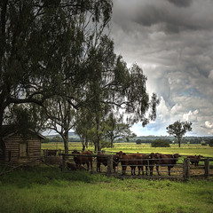 rosevale beef (Fat Burns ☮) Tags: landscape day cattle cows cloudy beef australia australianlandscape feedlot beefcattle farmscene rosevale diaryfarm