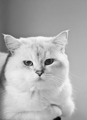 B&W Shaded Point (Blochmntig) Tags: blackandwhite bw cat feline chat katze katzen kater britishshorthair funnycat cateye catposing bkh katzenaugen britischkurzhaar blackwhitephotos bestofcats catmoments catinpose shadedpoint