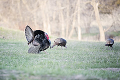Turkey Tom (Nick - n2photography) Tags: city tom canon turkey outside 70200l 5d3