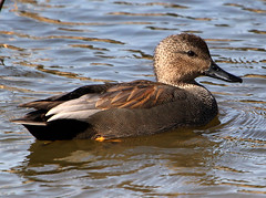 Gadwall Portrait (Ger Bosma) Tags: sea wild white lake black male reed water swimming grey bill duck wildlife north gray swamp ente eend freshwater marshes mannetje foraging gadwall anasstrepera krakeend coastalwaters reedland schnatterente canardchipeau nadefriso canapiglia img81203afiltered
