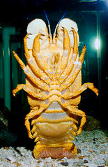 Slipper Lobster WLD_6423 (guppiecat) Tags: slipperlobster parribacusantarcticus
