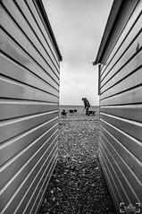 Handful (JonPunshon) Tags: street uk people blackandwhite bw man male beach coast brighton candid streetphotography fujifilm streetphoto beachhuts bnw dogwalking x100 fujifilmx100 fujix100 streettog