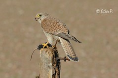 Kestrel (Female) Falco tinnunculus Explore April 22  #321 (Col-page) Tags: