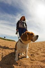 Domino the beagle (AntoineAuG) Tags: dog sun beach beagle canon fisheye hd 8mm plage samyang 650d