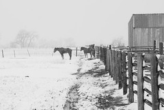 Waiting on winter. (E-Wiskr) Tags: horses bw snow fence waiting snowstorm stable resigned bouldercolorado aprilsnow cherryvale yetagain southboulder ibeauty