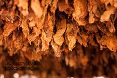 tipacoque tierra del tabaco-15 (Kali Knot) Tags: colombia lugares tobacco tabaco boyaca campesino boyacá colombianos canon450d canonistas salidafotografica canonxsi colombiatabaco tipacoque julianlavila